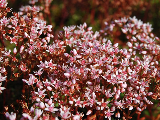 "Sedum album ""Coral Carpet"""